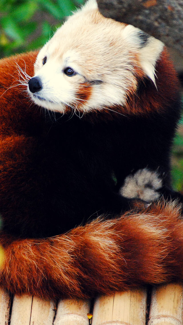 Firefox Red Panda 3Wallpapers iPhone 5 Firefox Red Panda
