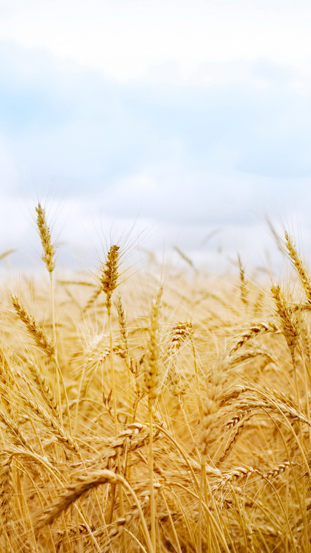 Wheat in Wind 3Wallpapers iPhone 5 Wheat in Wind