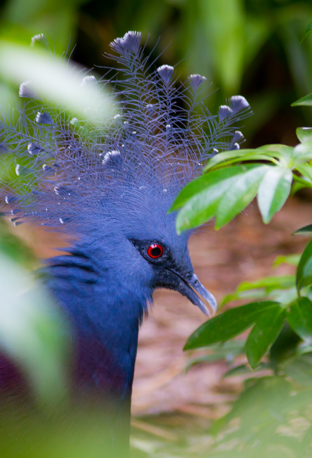 Crowned Pigeon 3Wallpapers iPhone parallax Crowned Pigeon