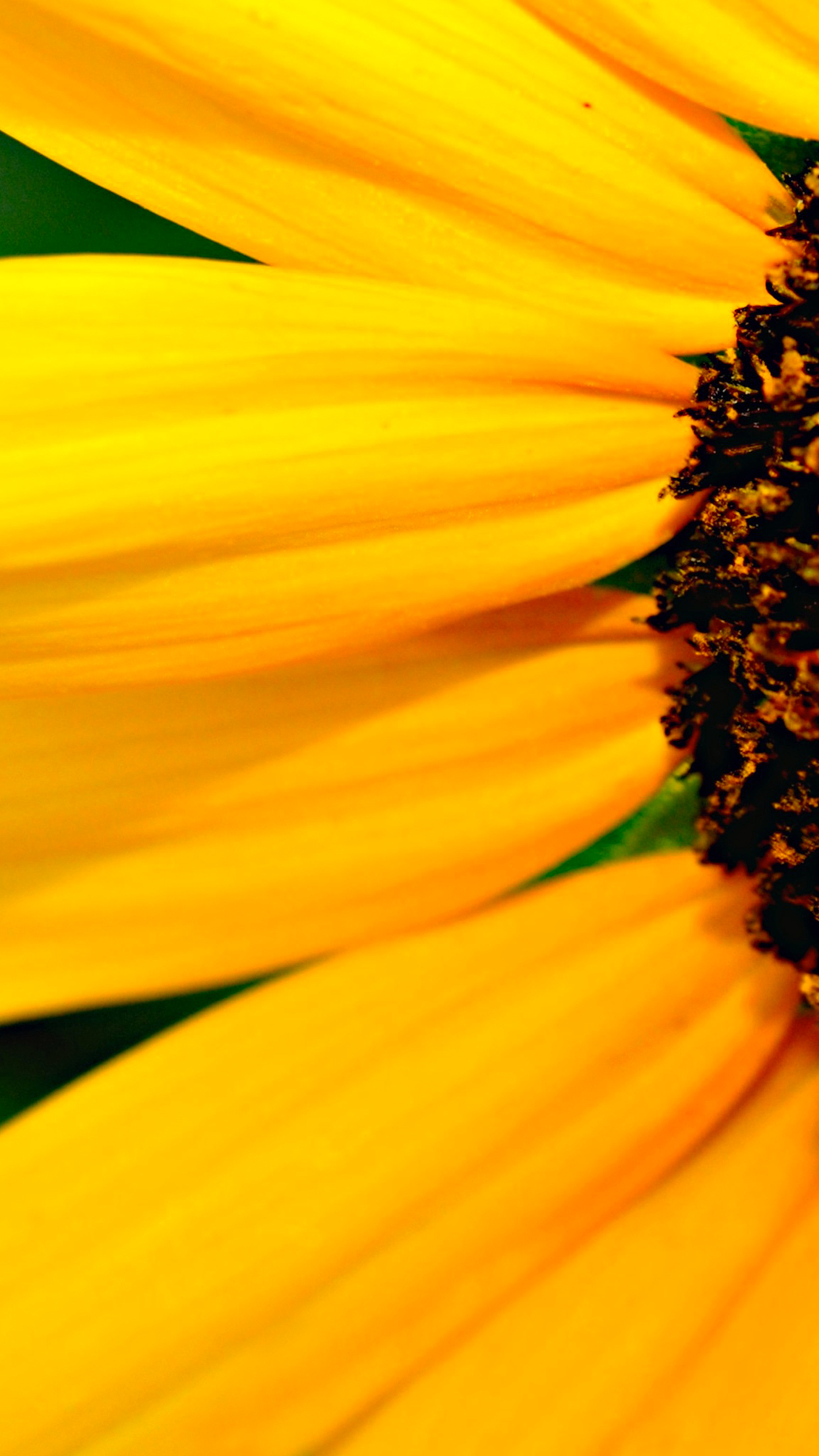 Sunny Sunflower 3Wallpapers iPhone Parallax Sunny Sunflower
