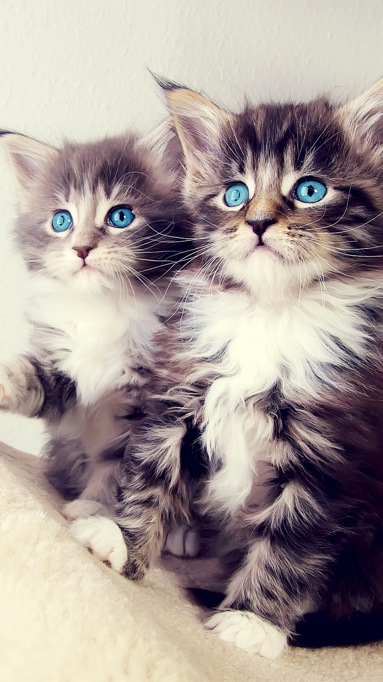 Cat Blue Eyes iPhone 3Wallpapers Parallax Cat Blue Eyes