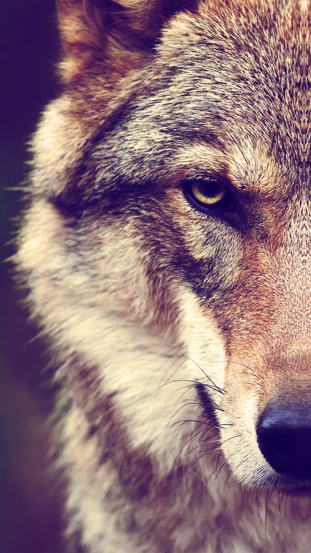 iPhone wallpaper brown wolf Wolf