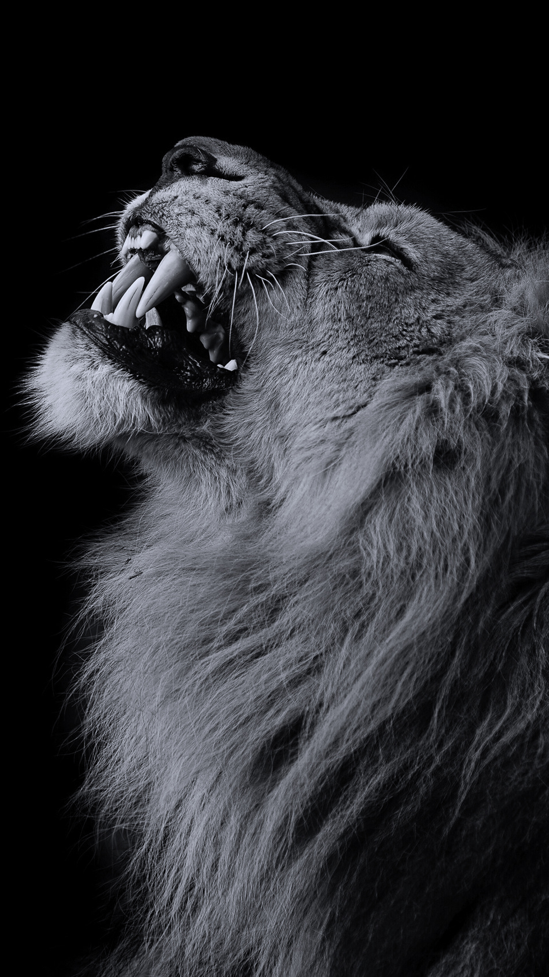iPhone wallpaper lion2 Lion