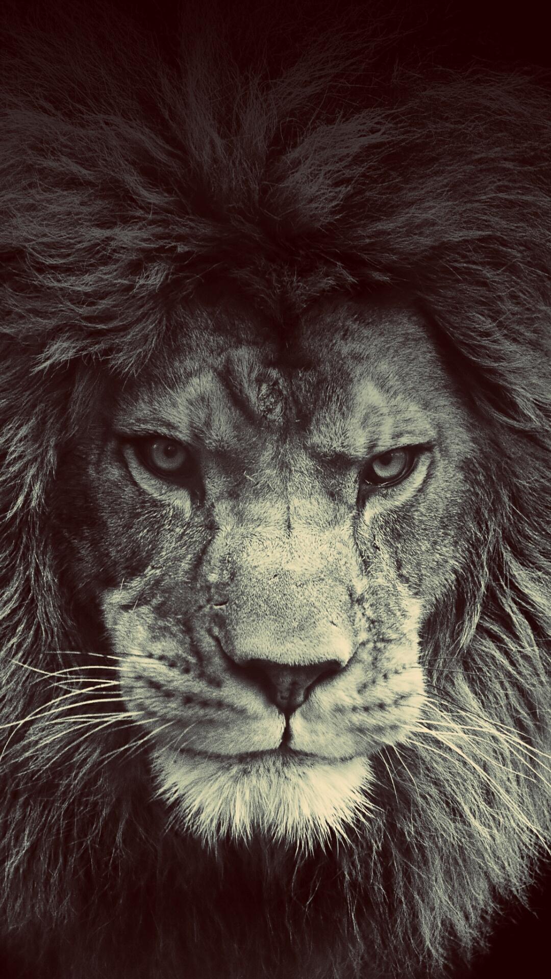 iPhone wallpaper lion3 Lion