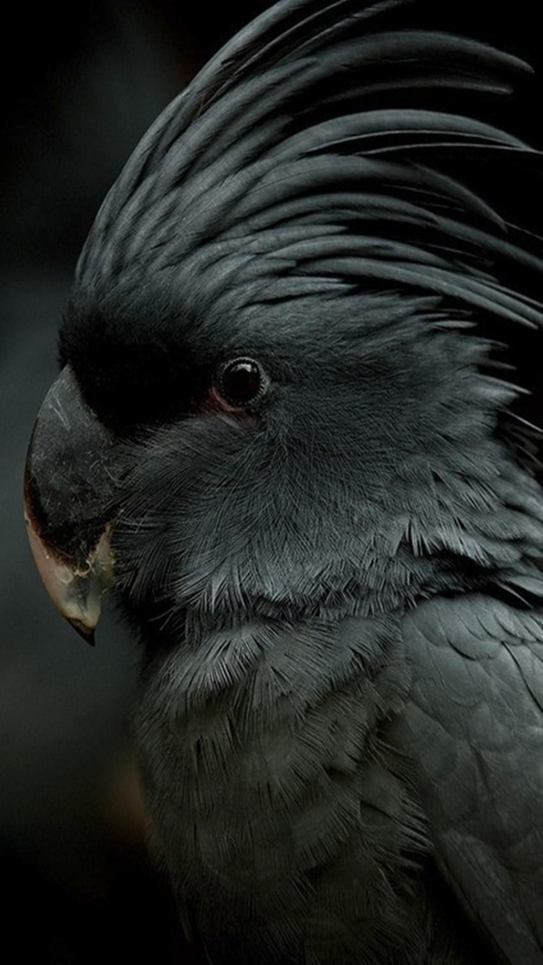 iPhone wallpaper parrot black Parrot