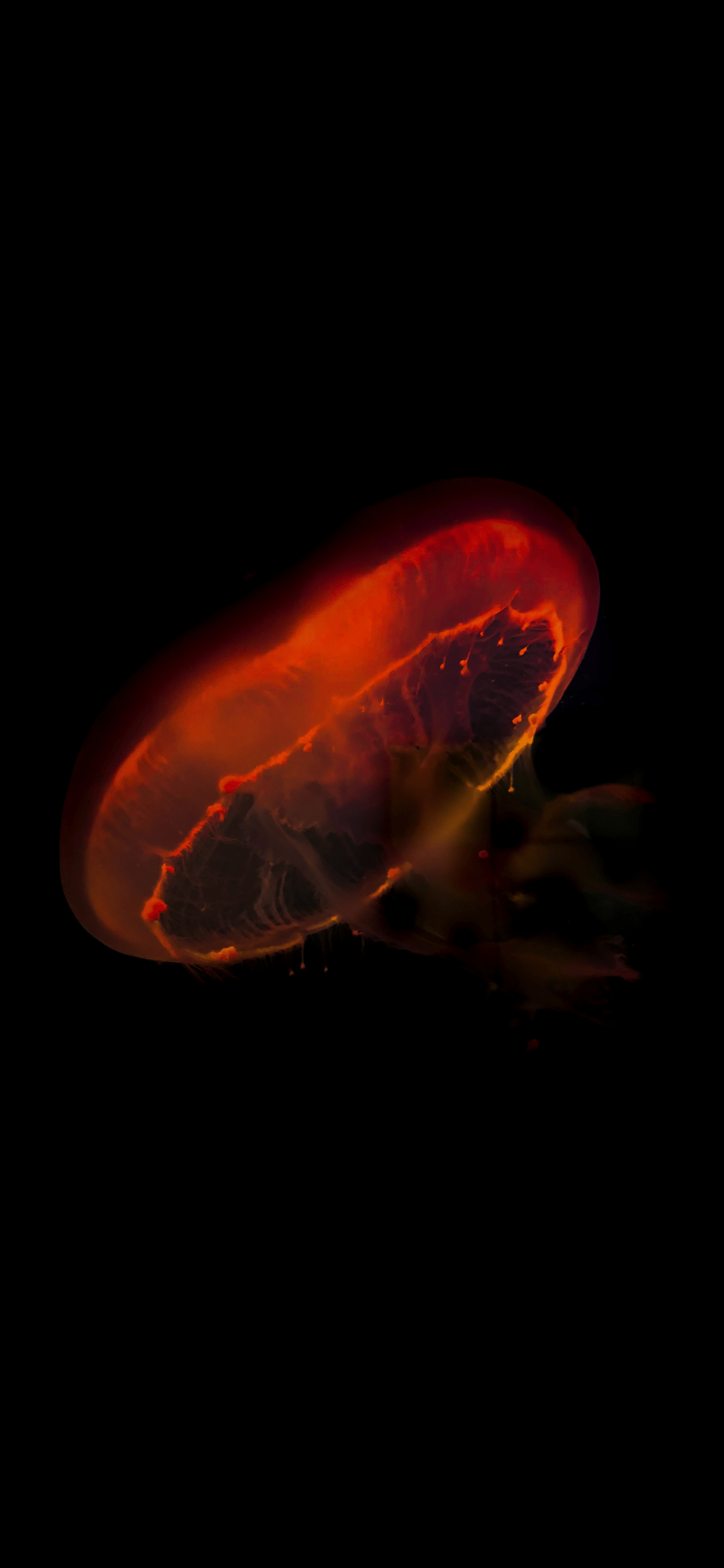 iPhone wallpapers jelly fish orange Jellyfish