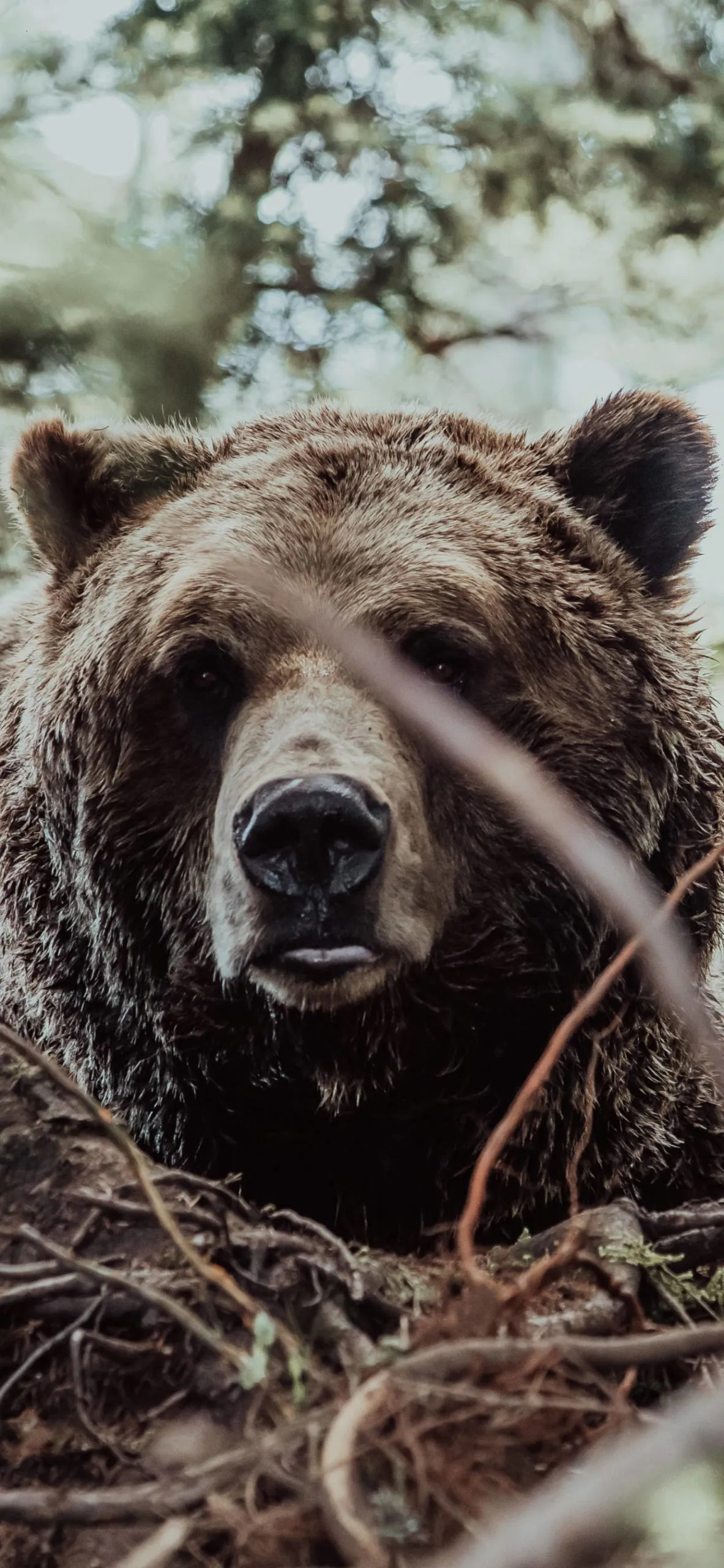 iPhone wallpapers bear vancouver scaled Bear