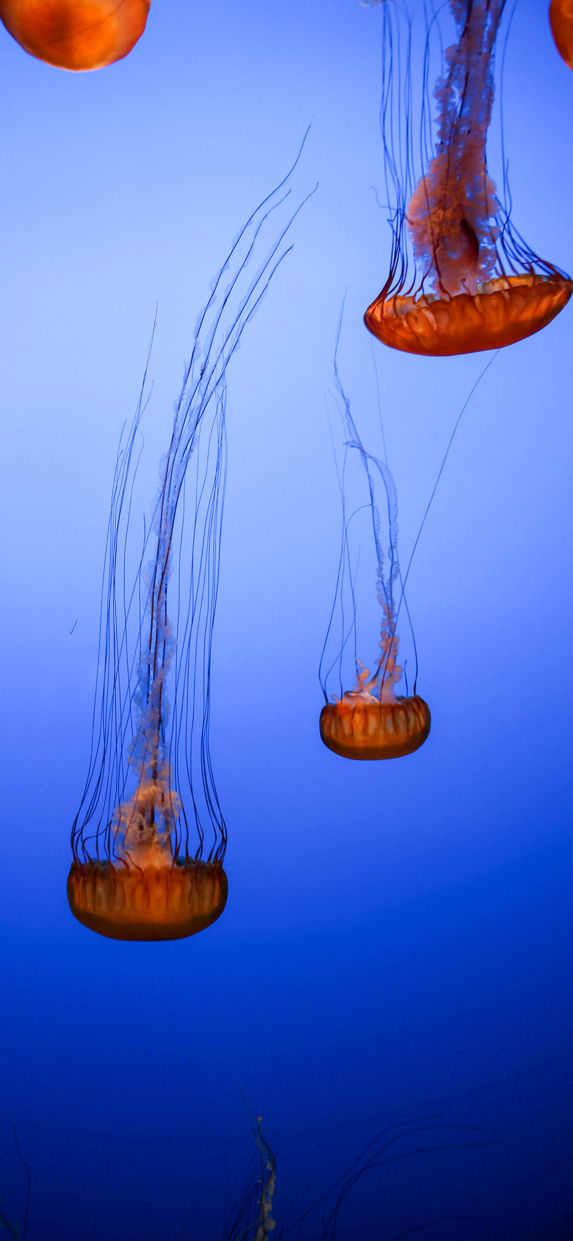 iphone wallpapers jellyfish brown scaled Jellyfish