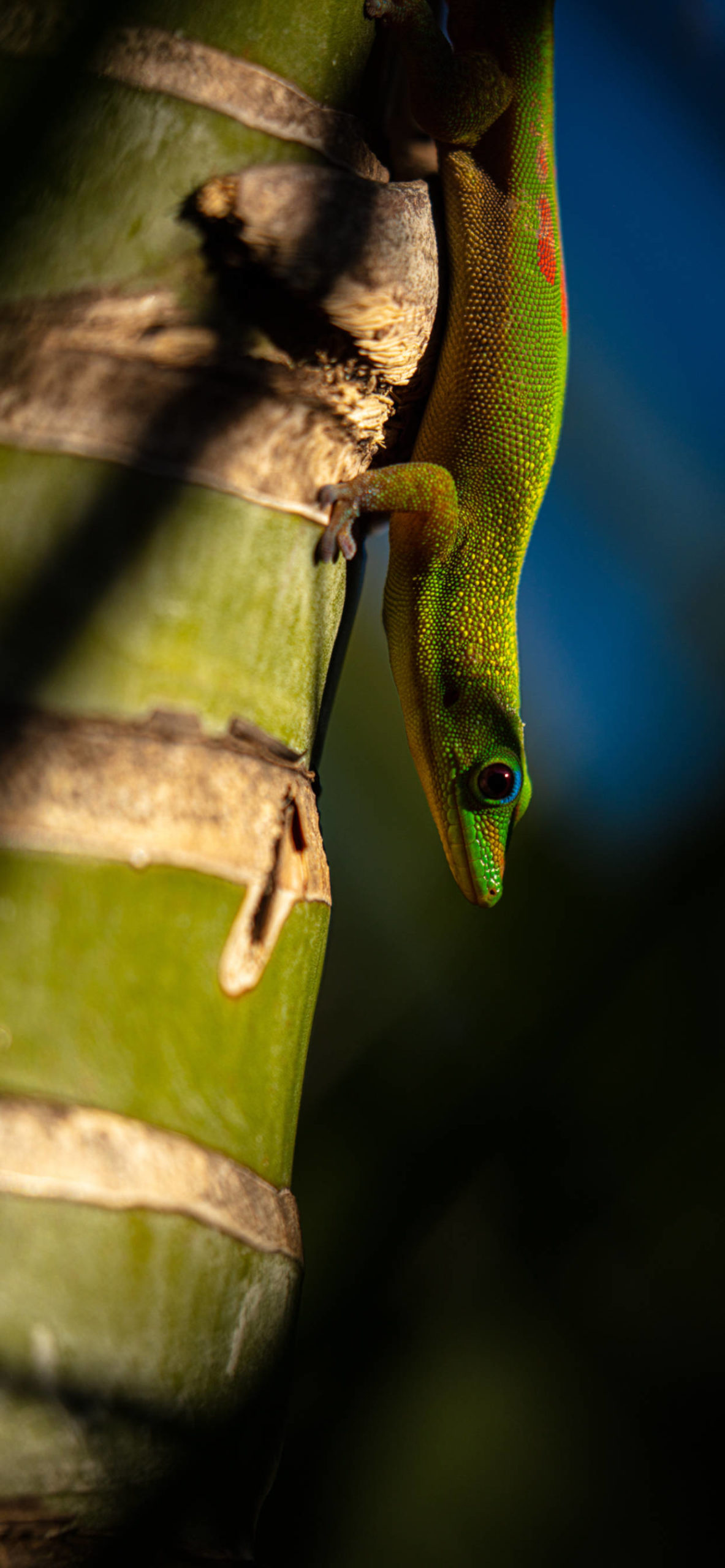 iPhone wallpapers gecko palm scaled Gecko