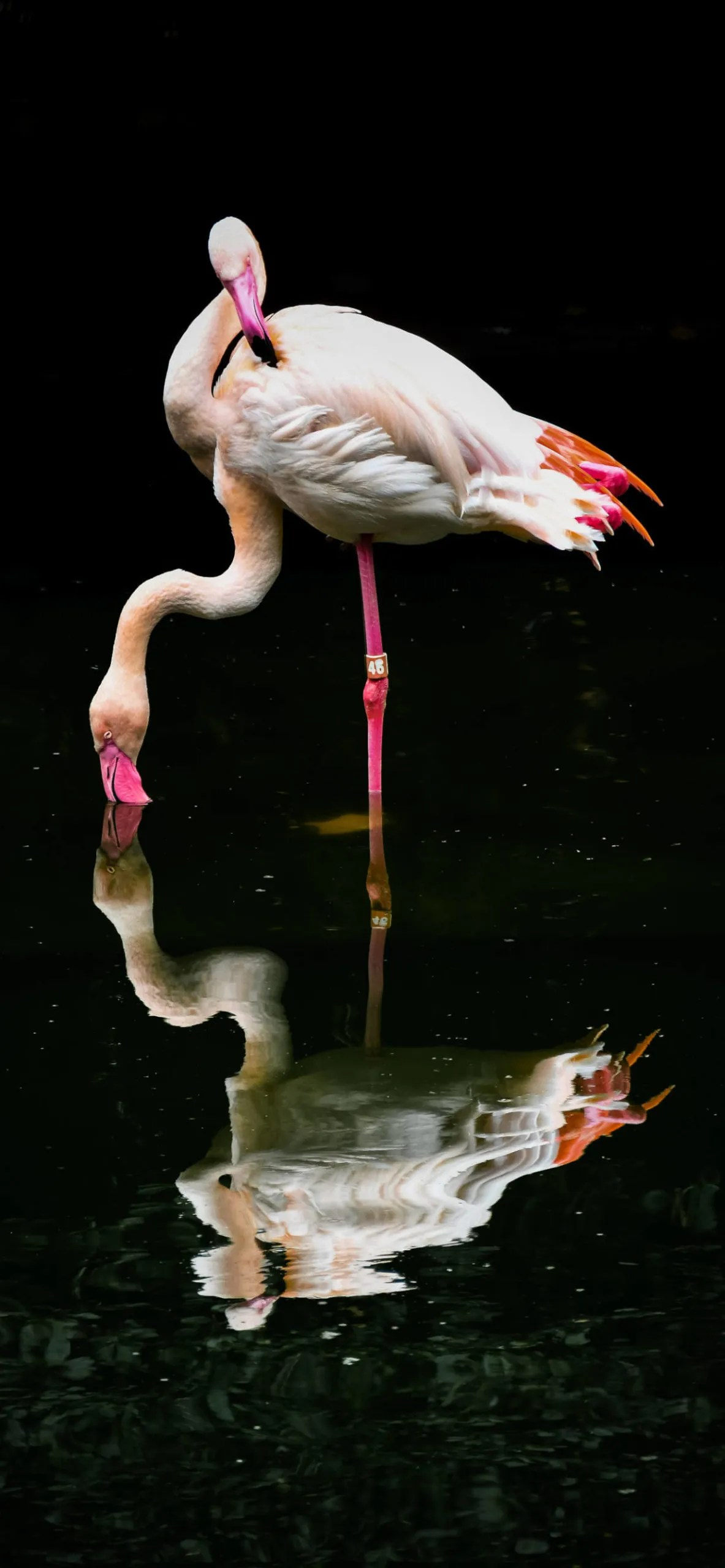 iPhone wallpapers reflection flamingo scaled Reflection