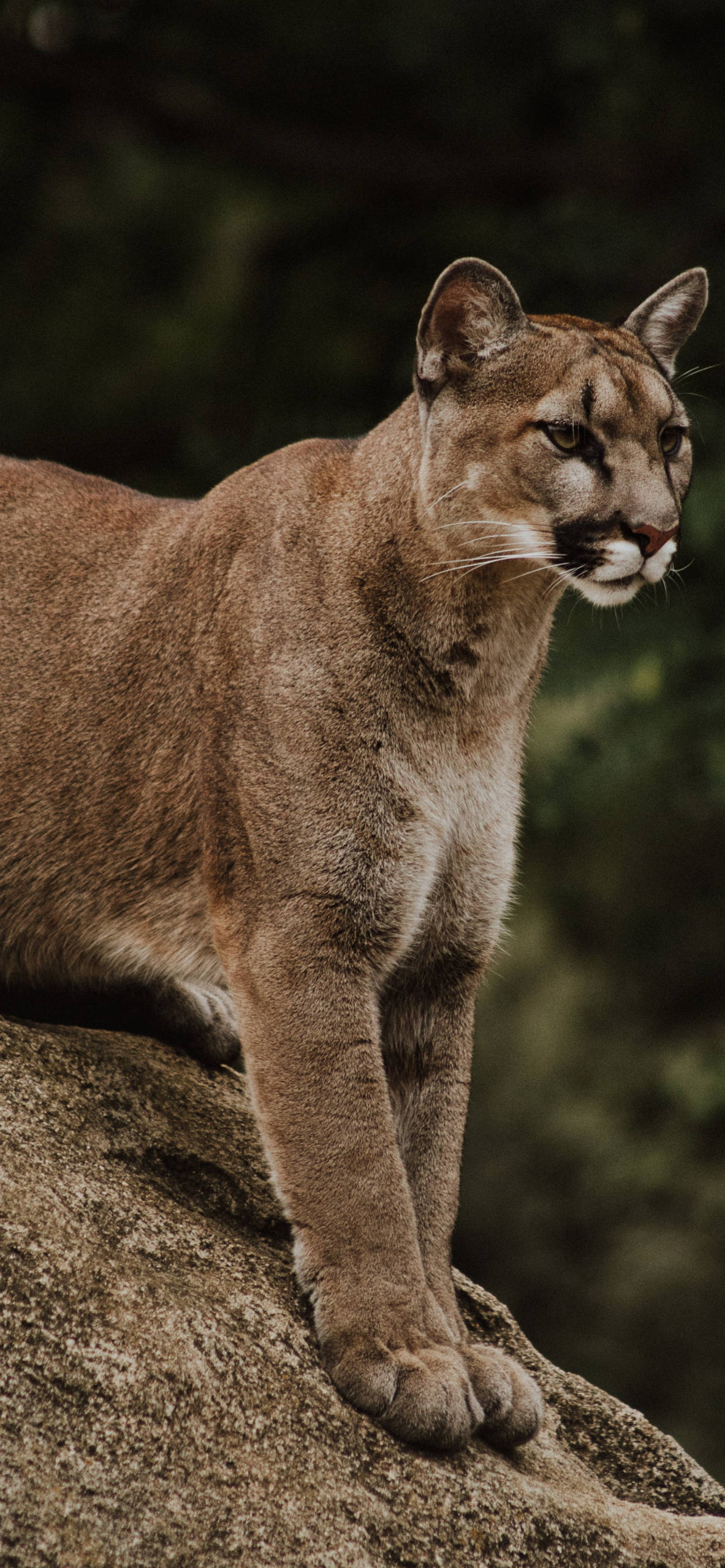 iPhone wallpapers cougar body Cougar