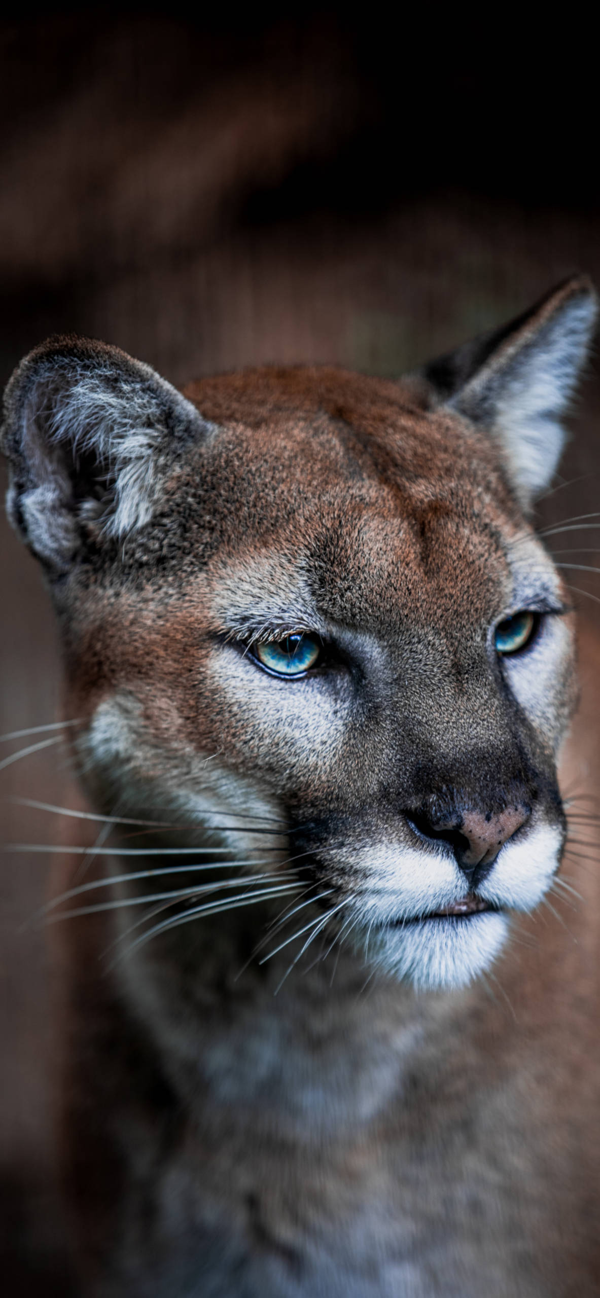 iPhone wallpapers cougar face Cougar