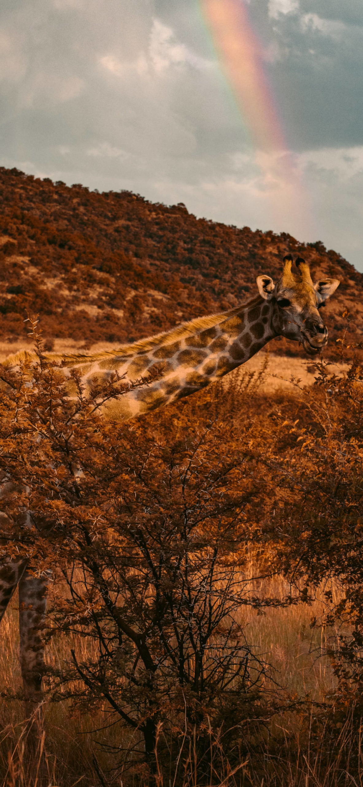 iPhone wallpapers south africa girafe scaled South Africa
