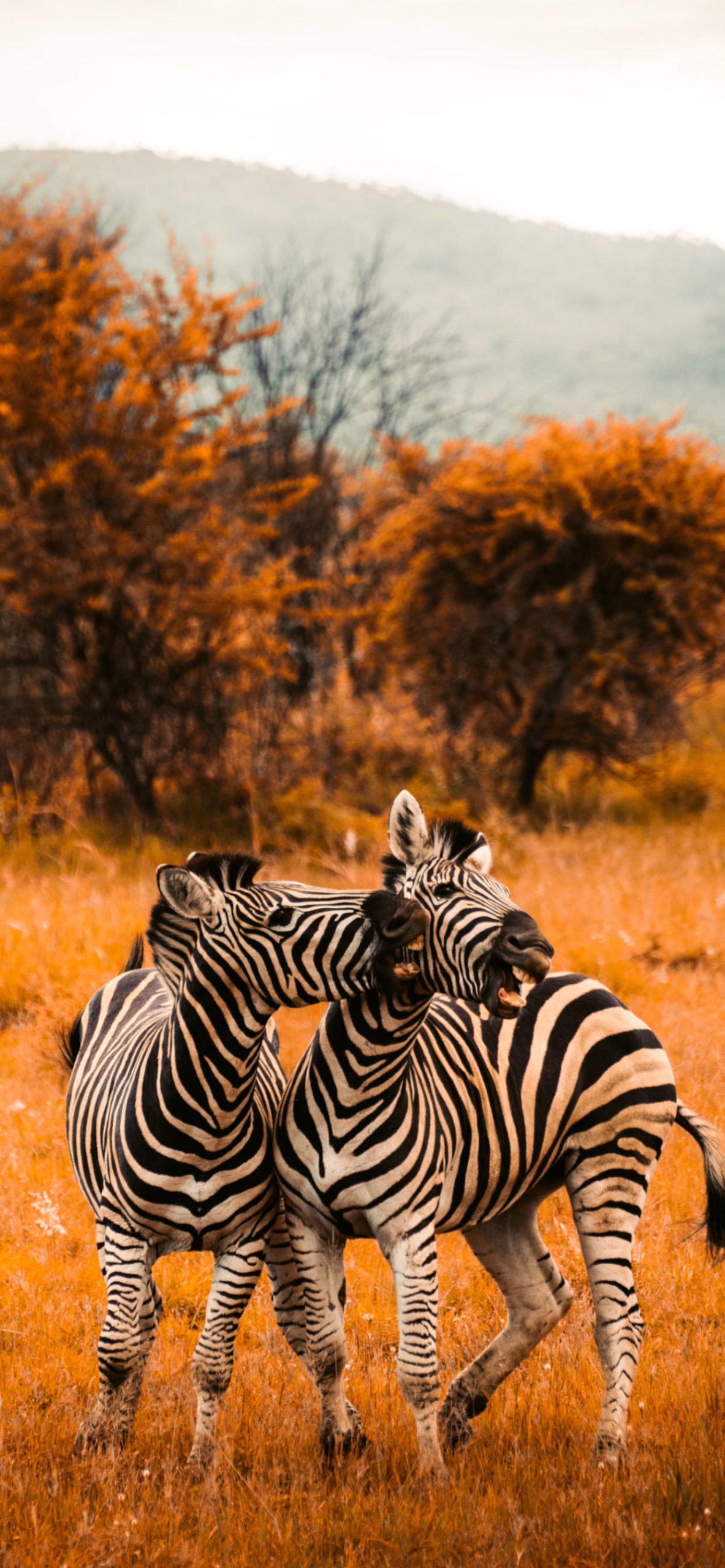 iPhone wallpapers south africa zebra scaled South Africa