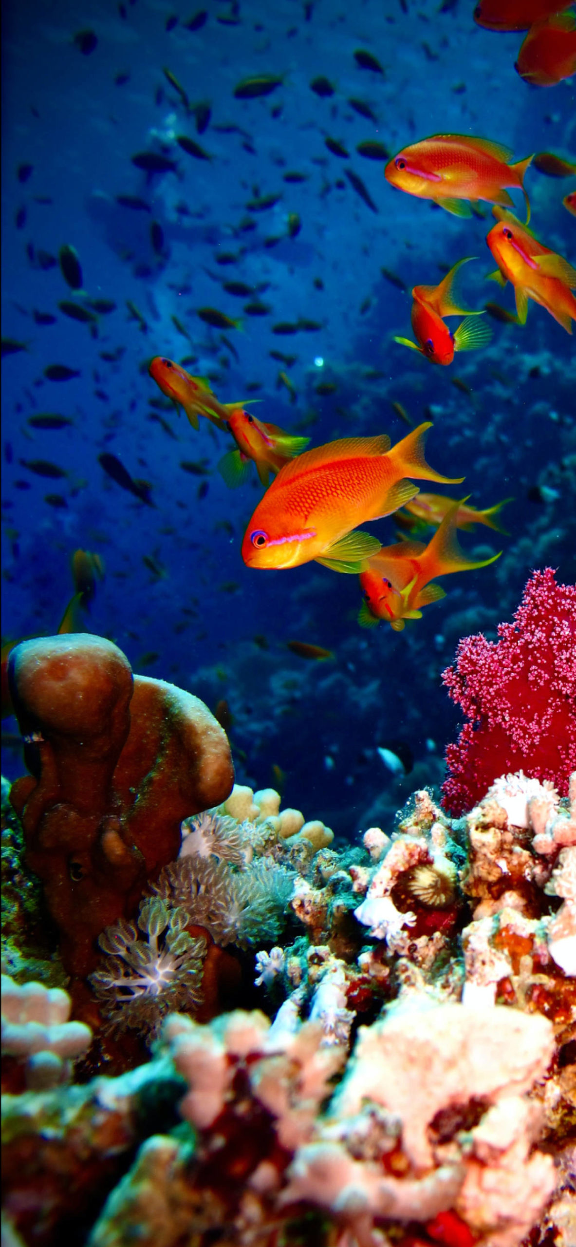 iPhone wallpapers corals fish scaled Coral