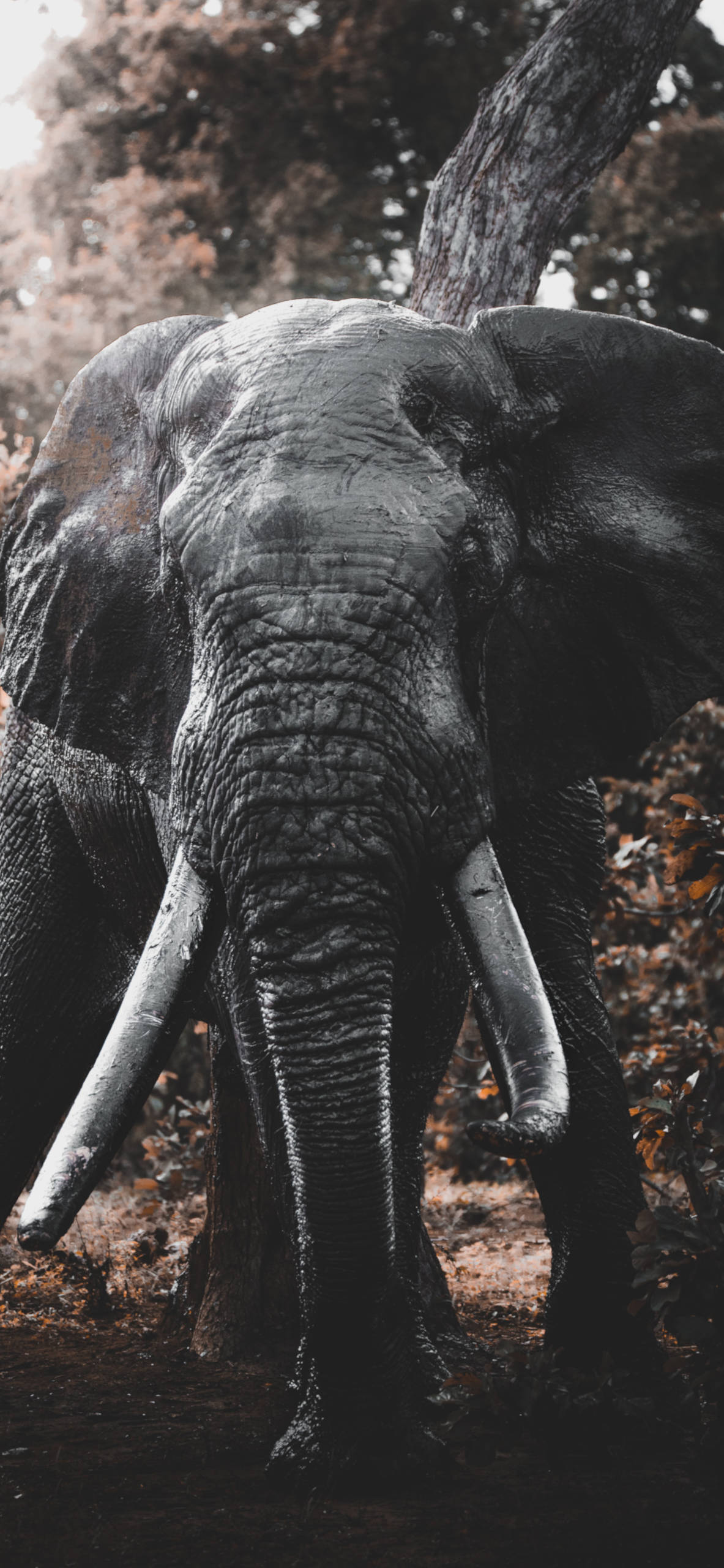 iPhone wallpapers elephanth south africa Elephant