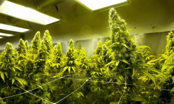 Researchers Photograph Active Ingredient In Cannabis Plants
