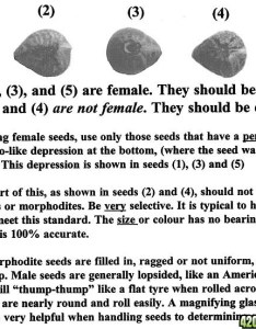 recently came across this is directed towards the experts have you guys noticed any trends such as also identifying female seeds magazine rh magazine