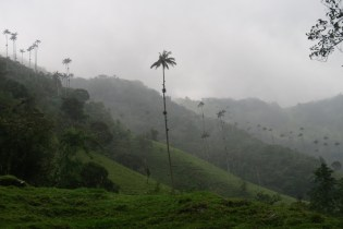 Growing to 200ft, these are the world's tallest palm trees and Colombia's national tree.