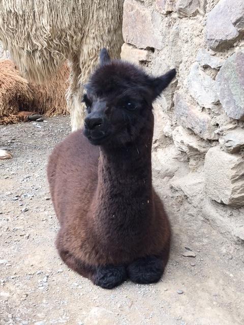 Baby llama. Or alpaca. Photo by Lesley Finn.