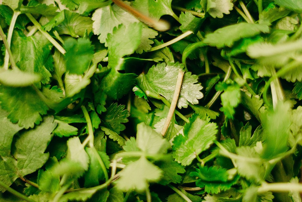 A close up photo of cilantro, a culinary herb. | Top culinary herbs for vegans to grow