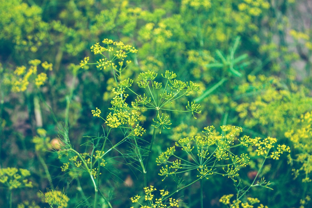 Photo of dill, a culinary herb, growing outdoors. | Top culinary herbs for vegans to grow