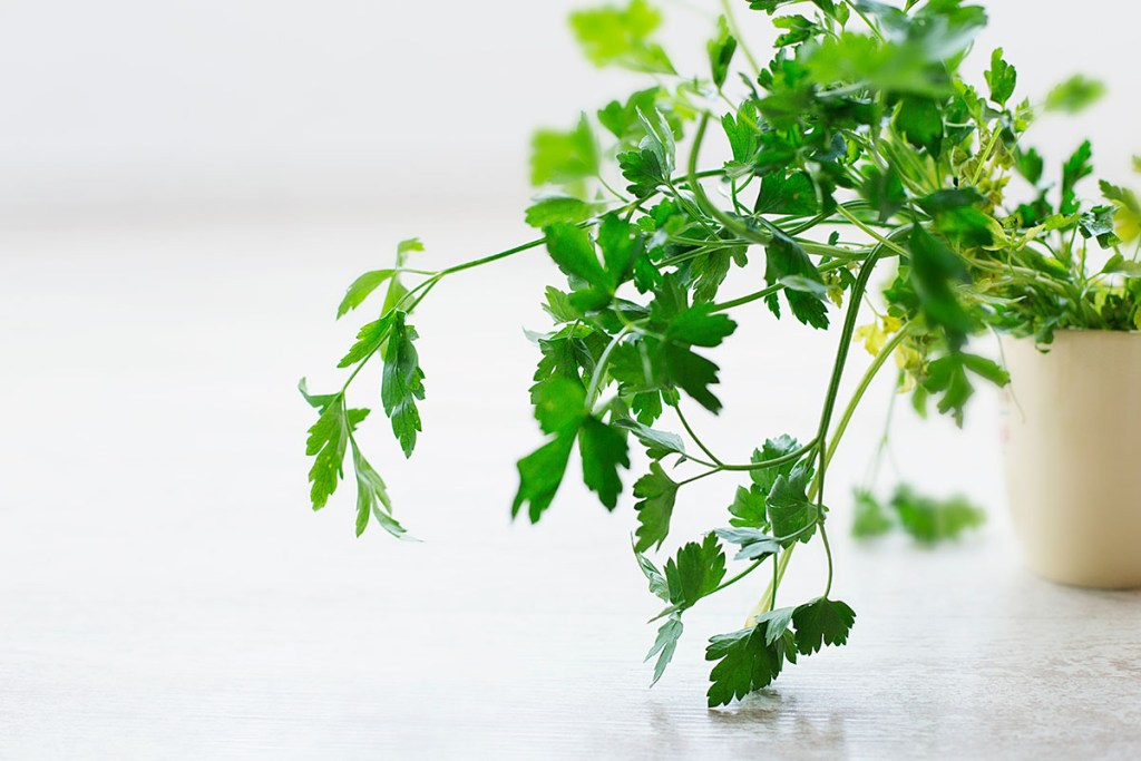 A pot of flat leaf parsley, a culinary herb, sitting on a table. | Top culinary herbs for vegans to grow