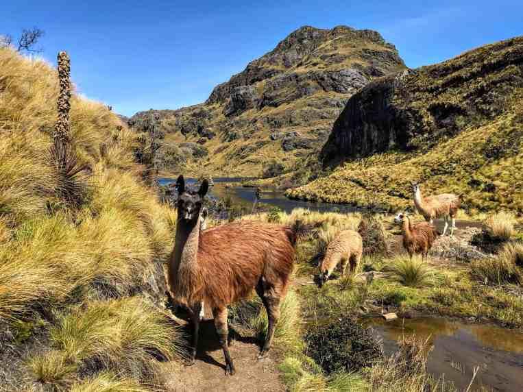 Cajas National Park Lama things to do in Ecuador
