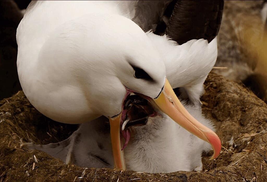 Albatross photo by Massimo Bassano of Albatross Expeditions