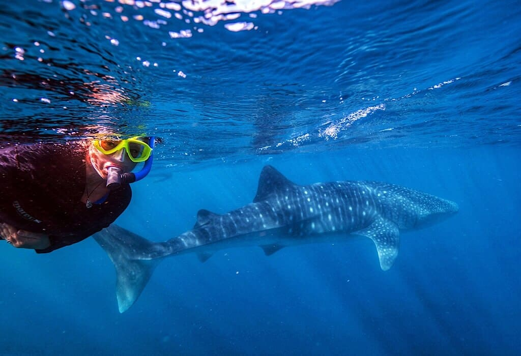 Bonnie swimming with a whale shark along the Ningaloo reef