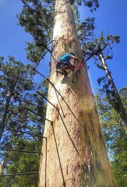 Trin climbing the Bicentennial Tree