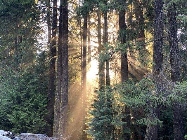 The morning sunlight shinning through the pine trees