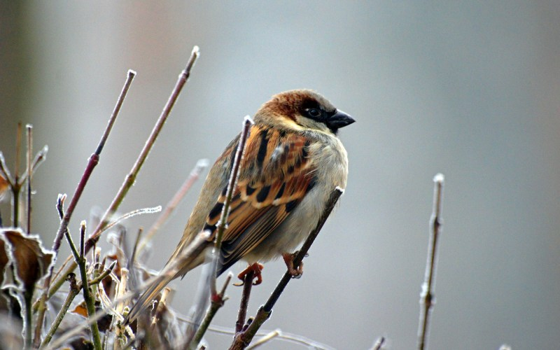 sparrow on icy twig photograph by hellinger14