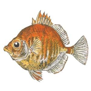 Dm 21 - Boar Fish