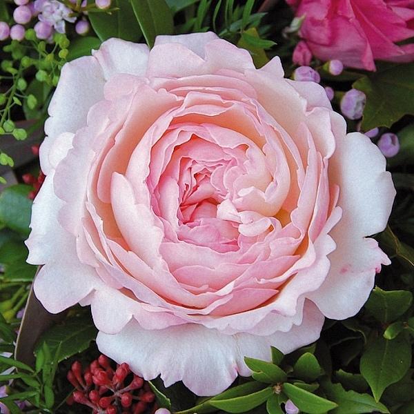 Roses For The Garden  Garden Ftempo