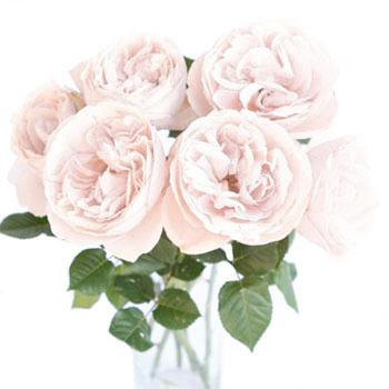 Blush O Hara Garden Roses  Garden Ftempo