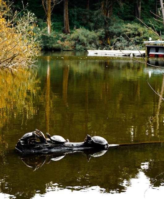 Turtles at Stow Lake. Photo: Justin Wong, 49miles.com