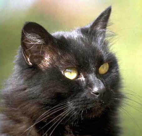https://i0.wp.com/www.4asap.org/Copy_of_black_cat_face.jpg