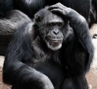 gorilla-denkt_pixabay