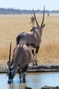 Central Kalahari Game Reserve - Oryx