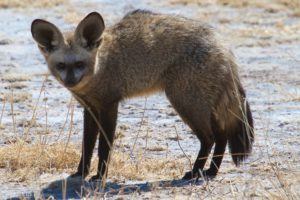 Central Kalahari Game Reserve - Bat Eared Fox