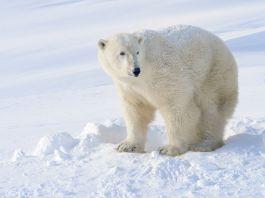 Eisbär im kalten Schnee