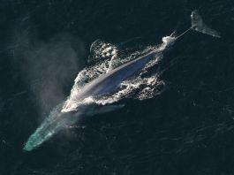 Blauer Wal