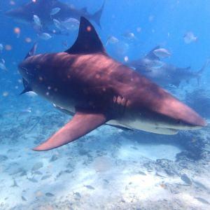 Wilder Bullenhai im Wasser