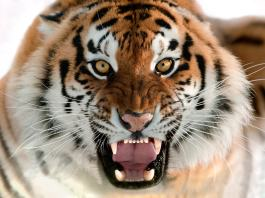 Wilder Tiger mit geöffnetem Maul