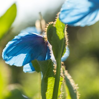 20140529_0298_Meconopsis-Lingholm-Frtl-Blue-Group