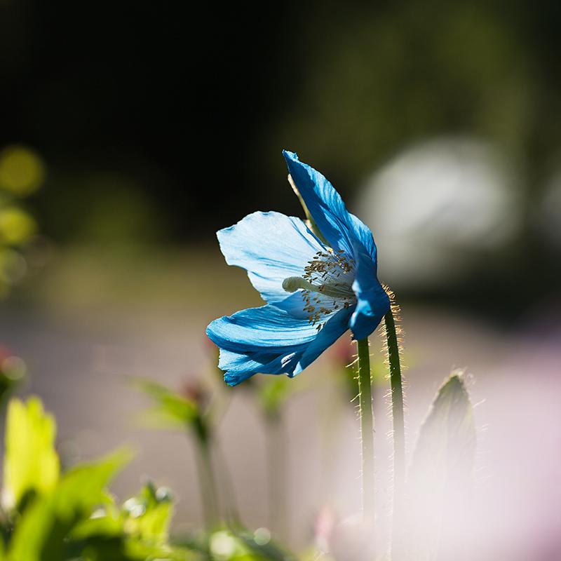 Meconopsis 'Lingholm Frtl Blue Grp'