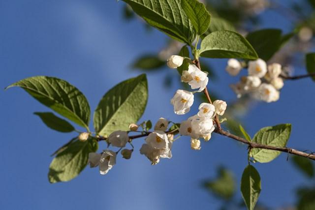 Halesia-monticola