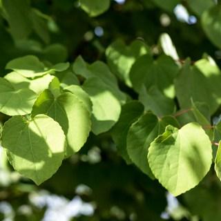 Cercidiphyllum japonicum x magnificum
