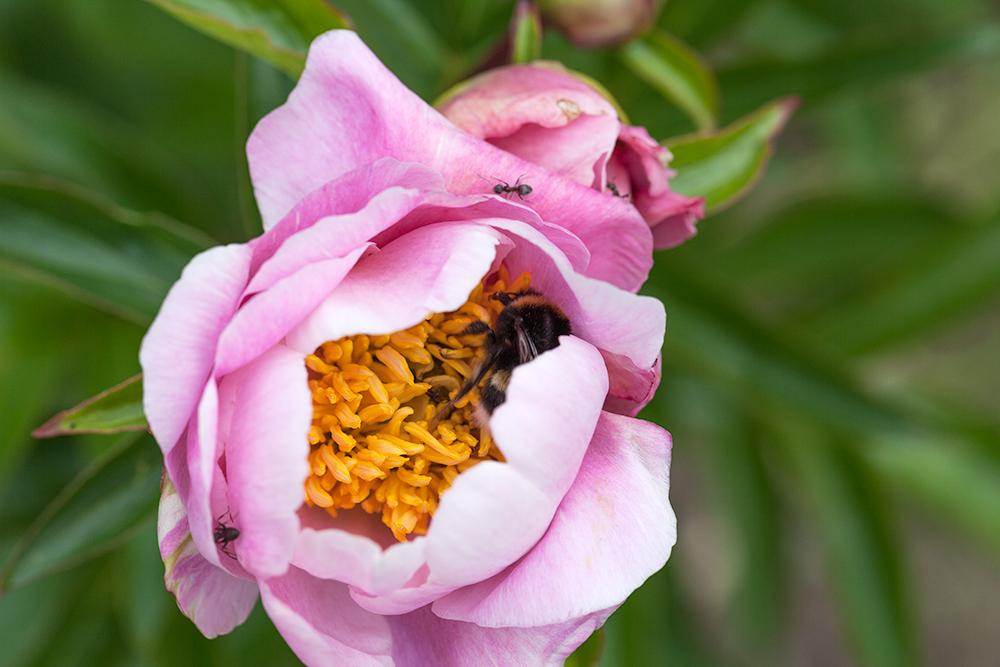 pion-Paeonia-lactiflora
